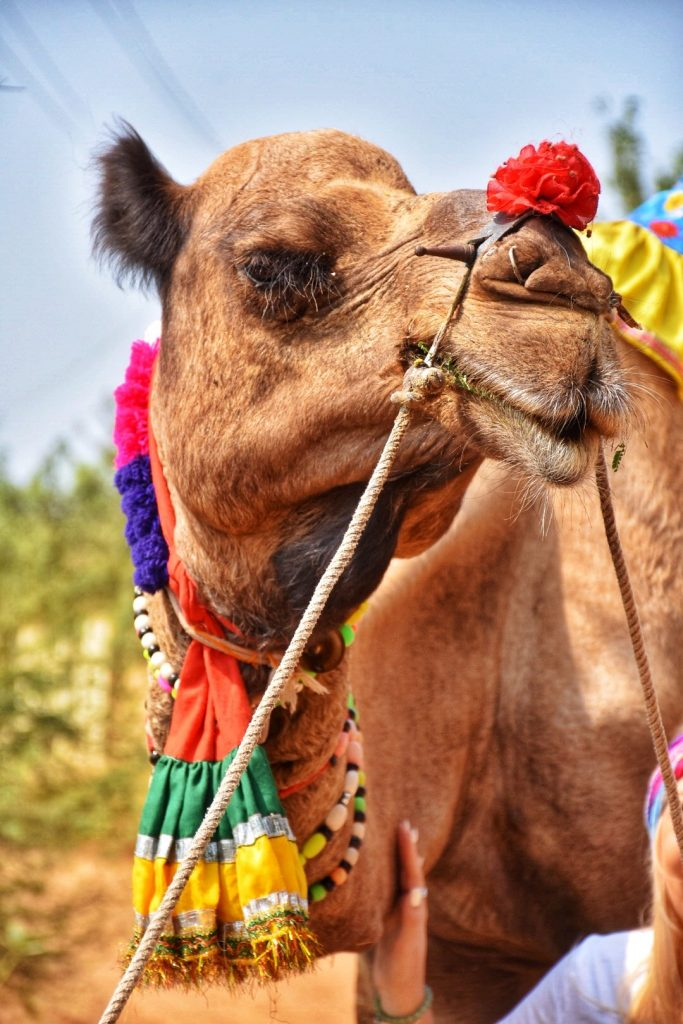 India photo tour including this photo of a camel's face in Ranthambore