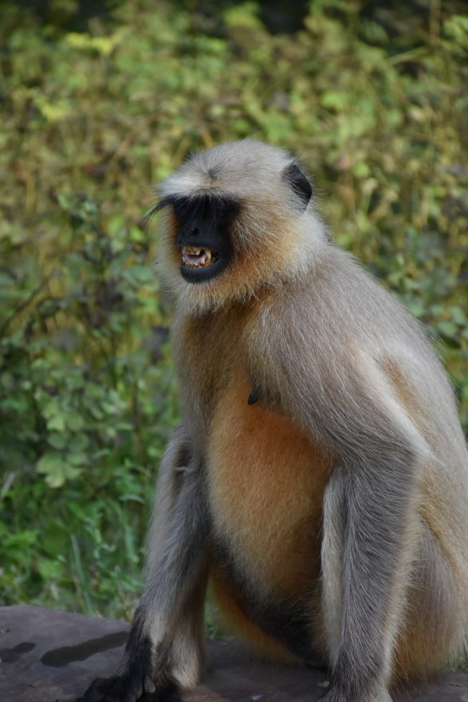 Monkeys in the Tiger Reserve India Ranthambore
